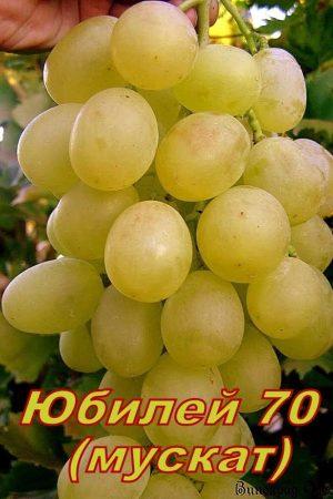 Юбилей-70 (мускат хруст.)