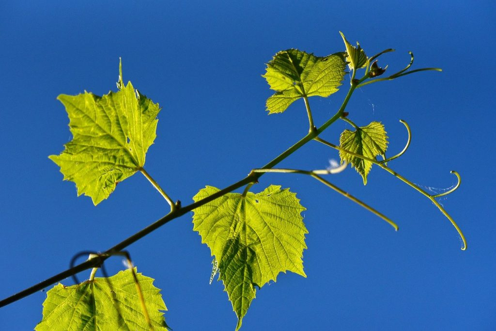grapevine, vine, grape