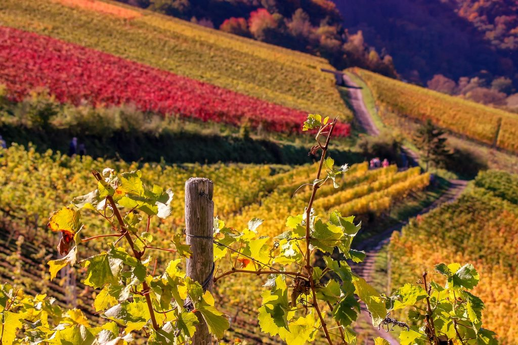 nature, landscape, wine